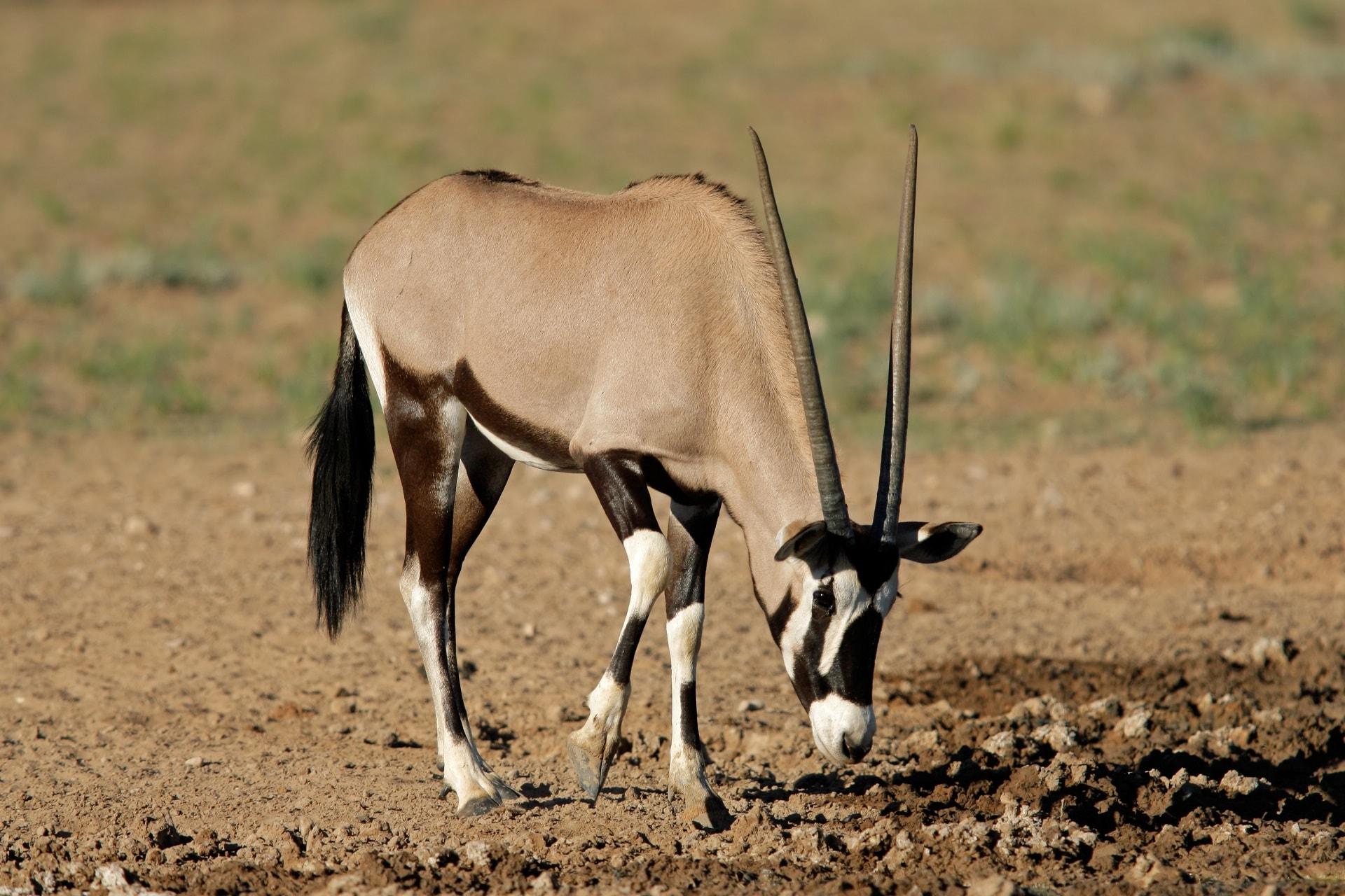 antelope dream meaning, dream about antelope, antelope dream interpretation, seeing in a dream antelope