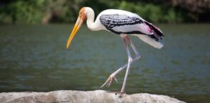 Stork Dream Meaning