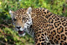 Jaguar Dream Meaning