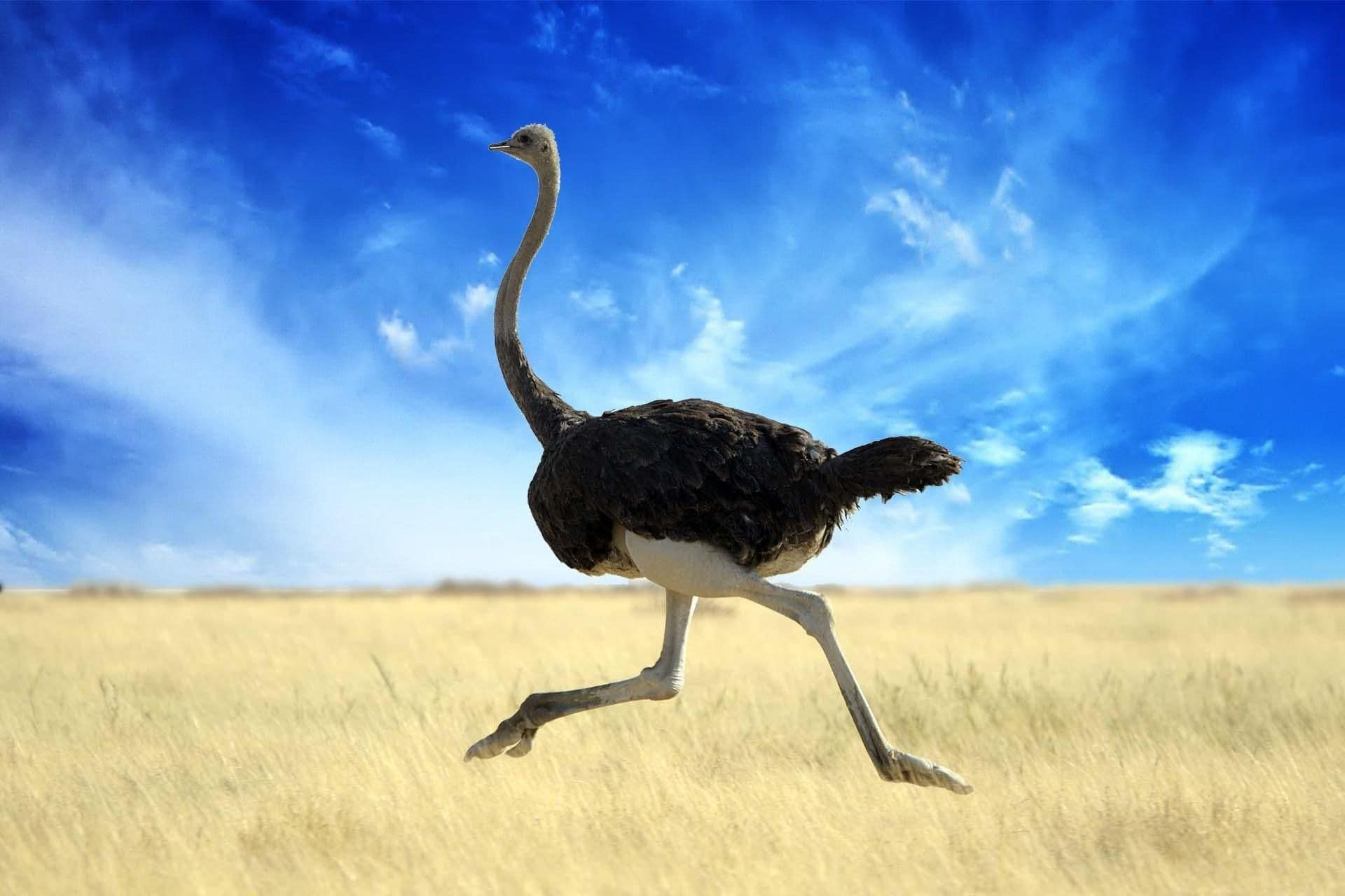 ostrich dream meaning, dream about ostrich, ostrich dream interpretation, seeing in a dream ostrich