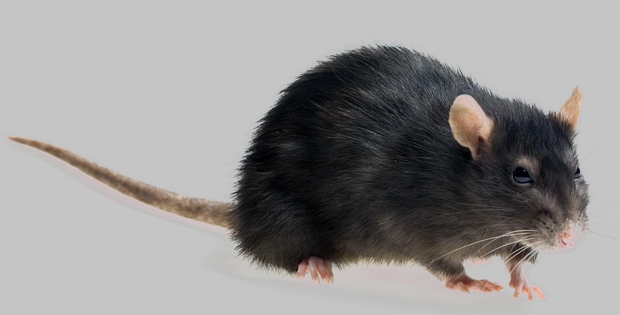 Rat dream meaning, dream about rat, rat dream interpretation, seeing in a dream rat