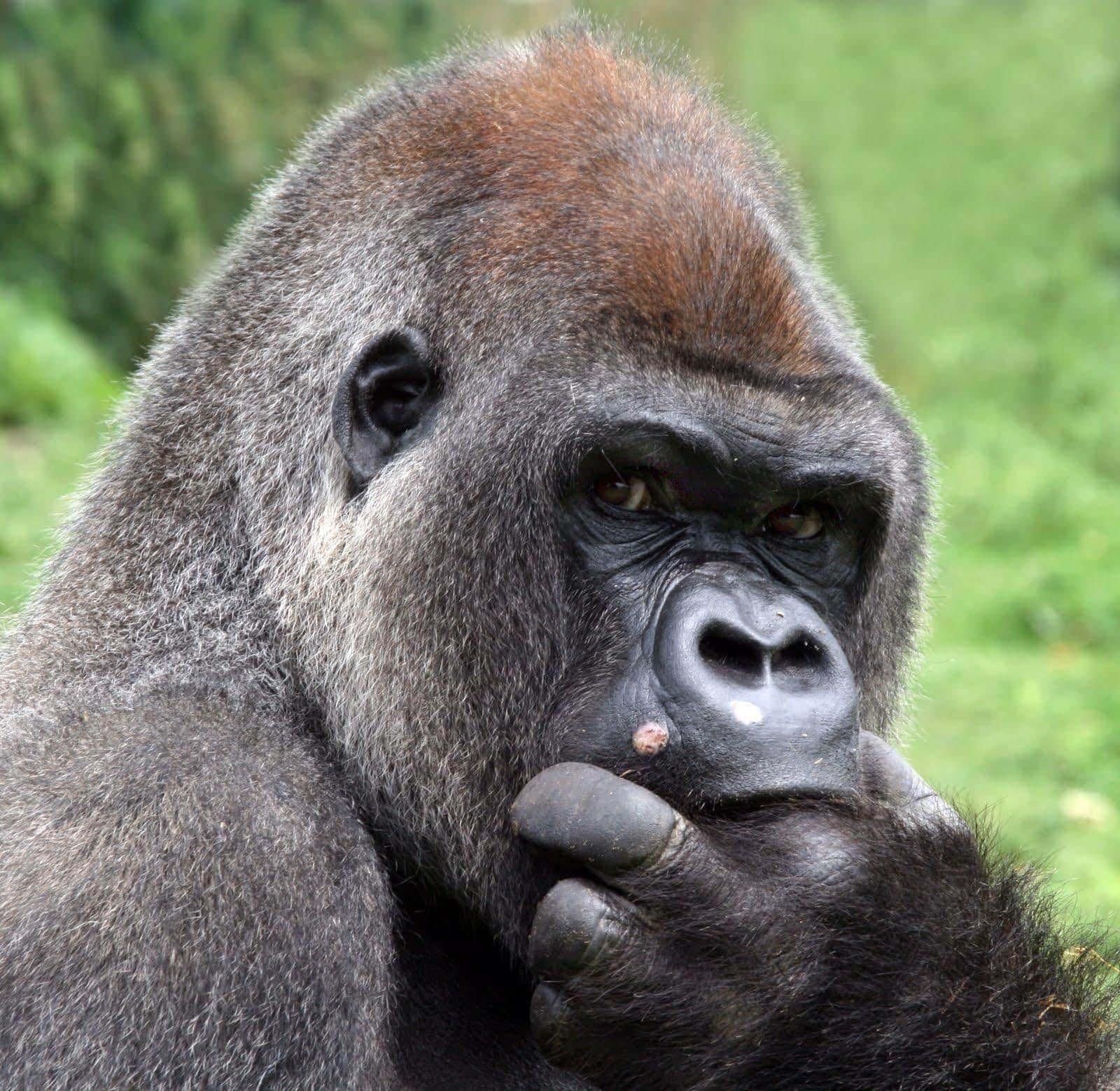 Gorilla dream meaning, seeing in a dream gorilla, dream about gorilla
