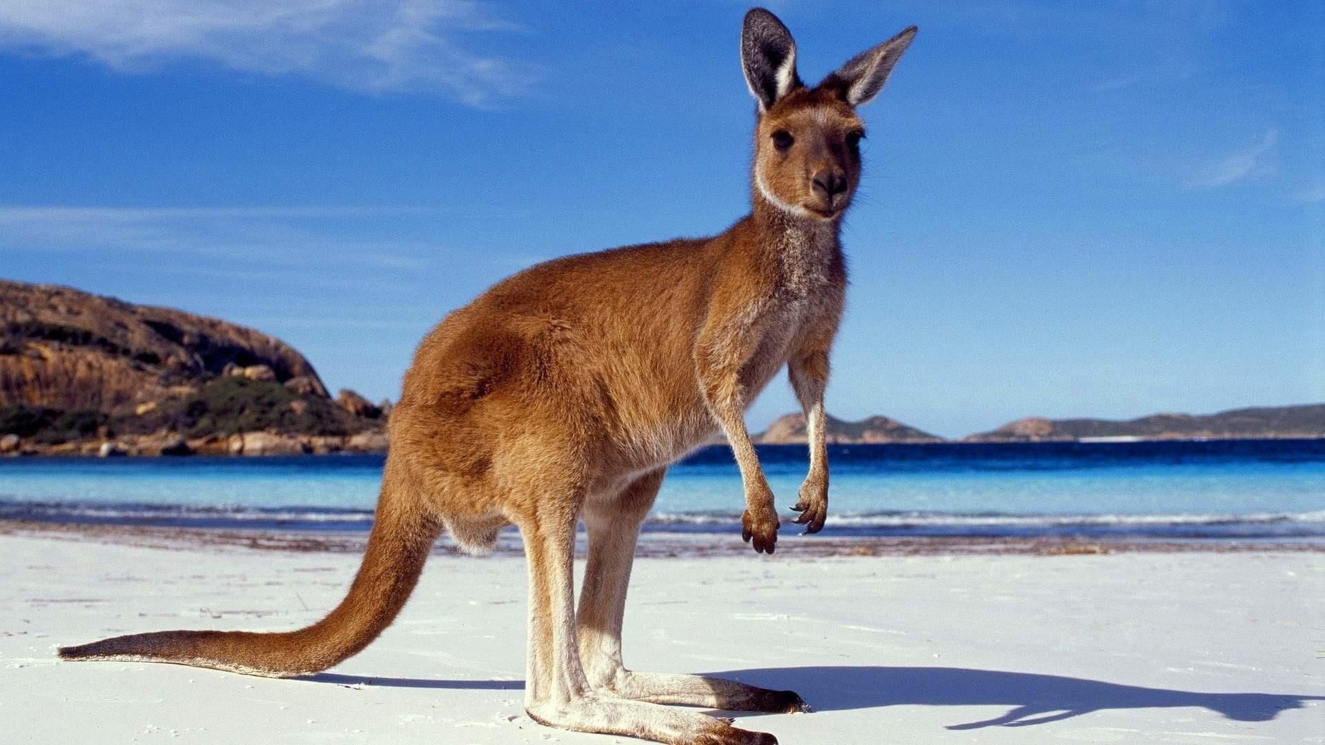 kangaroo dream meaning, dream about kangaroo, kangaroo dream interpretation, seeing in a dream kangaroo