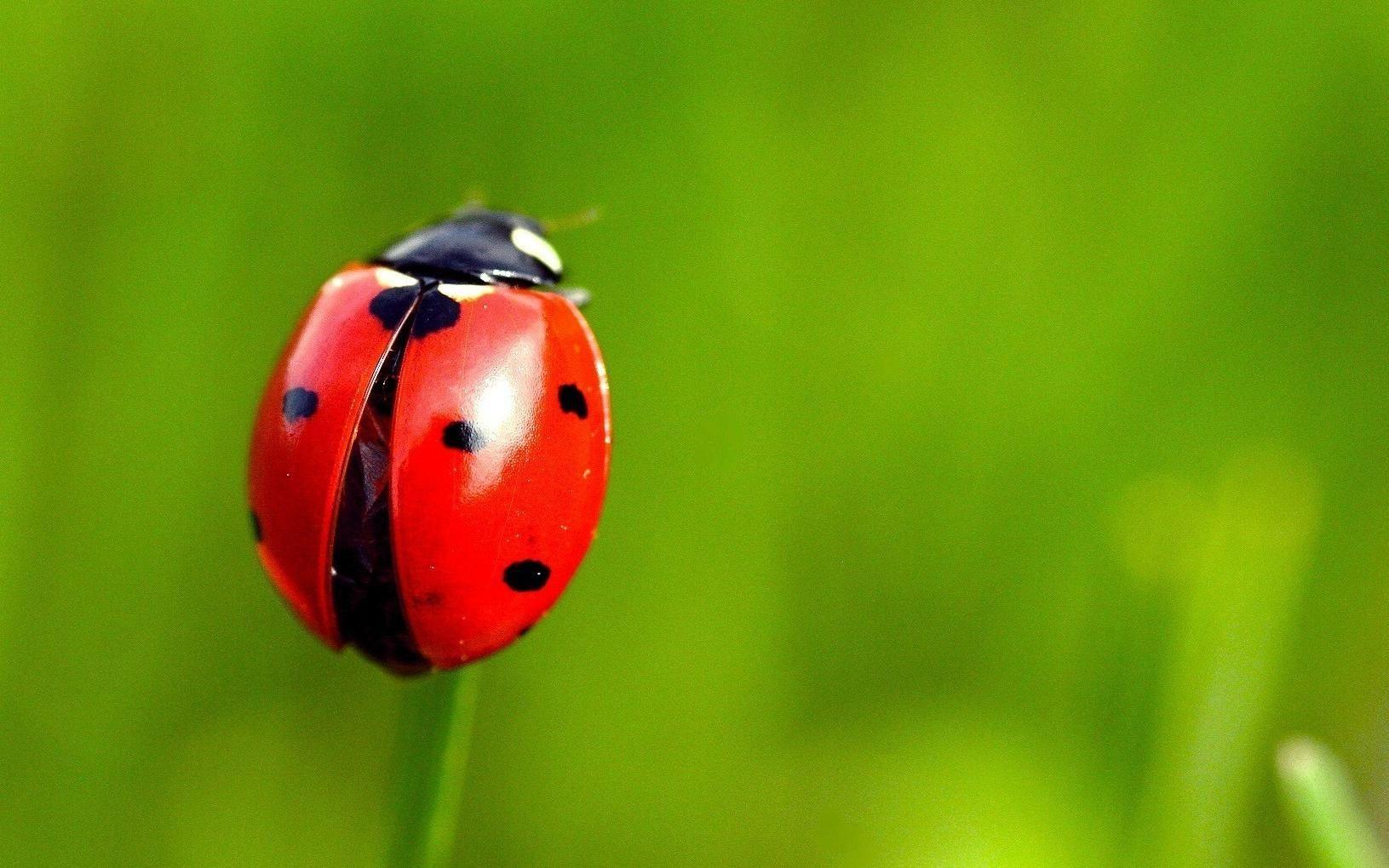 ladybug dream meaning, dream about ladybug. ladybug dream interpretation, seeing in a dream ladybug