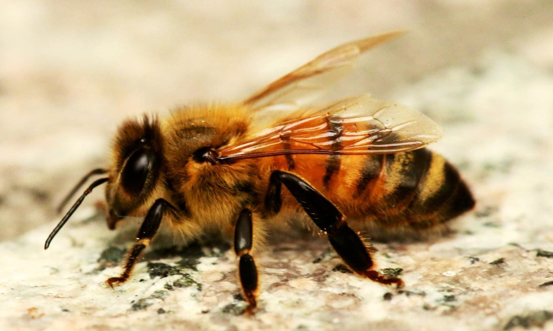 bee dream meaning, dream about bee, bee dream interpretation, seeing in a dream bee