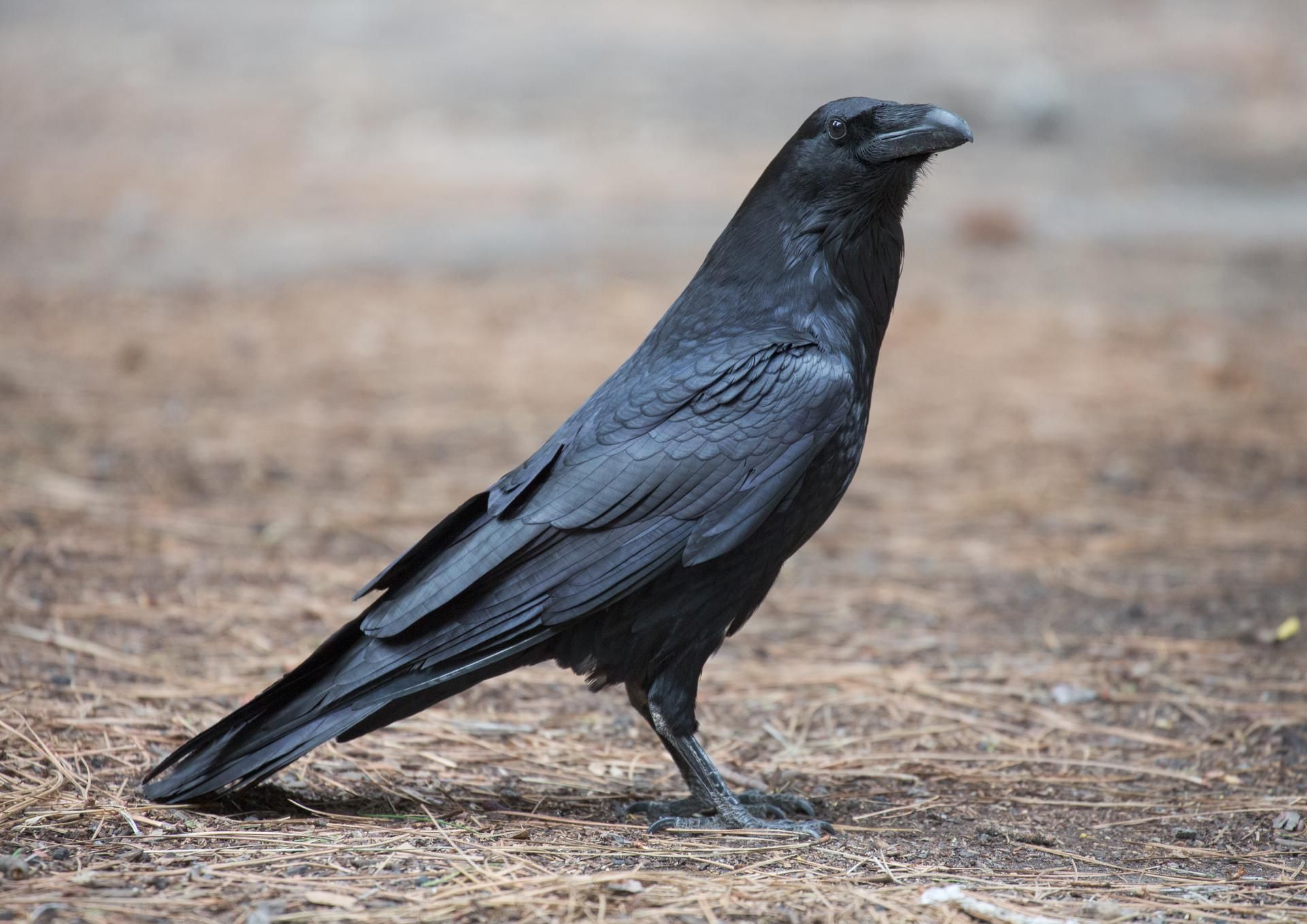 dreaming about crow