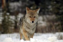 Coyote Dream Meaning