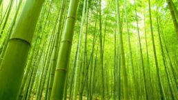 Bamboo Dream Meaning