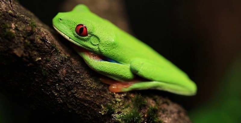 frog dream meaning, dream about frog, frog dream interpretation, seeing in a dream frog