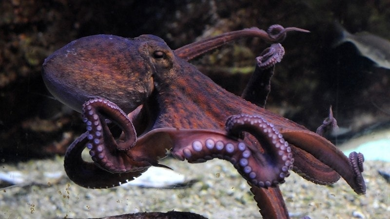 octopus dream meaning, dream about octopus, octopus dream interpretation, seeing in a dream octopus