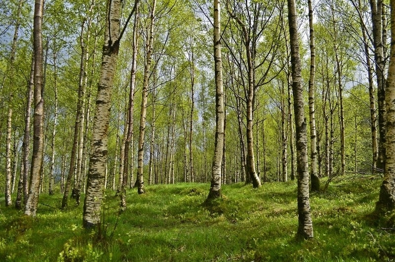forest dream meaning, dream about forest, forest dream interpretation, seeing in a dream forest