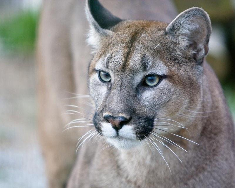 cougar dream meaning, dream about cougar, cougar dream interpretation, seeing in a dream cougar
